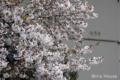 [桜] 2009/04/03