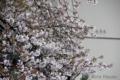 [桜] 2009/04/04
