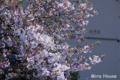 [桜] 2009/04/06