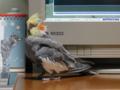 [オカメインコ] 遊び疲れて眠る雛の頃 2004-02-24