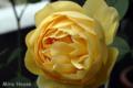 [植物] グラハム・トーマス 2009/04/21