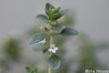 [植物]レモンタイムの花