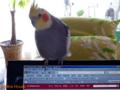 [オカメインコ] 2009-04-29