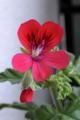 [植物]シェルブランド・ゼラニウム 2009/05/01