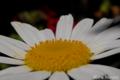 [植物]マーガレット