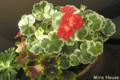 [植物][ゼラニウム]斑入り葉ゼラニウム