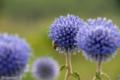 [花]2006-09-02  ヒゴタイ公園にて