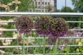 [花]2008-05-24 ロンドンにて アリウム・ギガンテウム(Allium giganteum)
