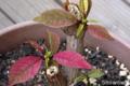 [花]日が長いのに赤くなったポインセチア