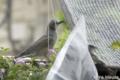 [鳥]日除け網から巣材を持っていくヒヨドリ