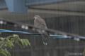 [野鳥]雨の中のキジバト
