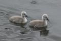[野鳥][ハクチョウ][雛]白鳥の雛 at Bibury, Gloucestershire