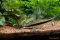 [淡水魚][熱帯魚][水槽]2009-08-31 19:38:00 サイアミーズ・フライイングフォックス