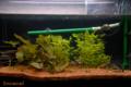 [淡水魚][熱帯魚][水槽]2009-08-29 19:45:441 60cm水槽
