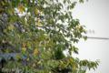 [桜]2009-09-12 定点観察ソメイヨシノ