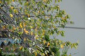 [桜]2009-09-18 定点観察ソメイヨシノ