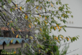 [桜]2009-09-27 定点観察ソメイヨシノ