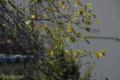 [桜]2009-10-04 定点観察ソメイヨシノ