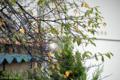 [桜]2009-10-07 定点観察ソメイヨシノ