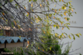 [桜]2009-10-10 07:18:23 定点観察ソメイヨシノ