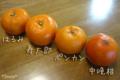 [果物]柑橘4種