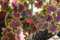 真冬に咲いたモミジバゼラニウム 2010-01-02