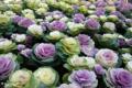 [植物]2010-01-27 11:45:52 葉牡丹