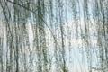 2010-03-17 15:59:55 不忍池の柳