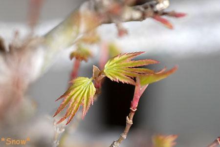 2010-03-17 モミジ