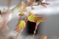 [植物][盆栽]2010-03-17 モミジ