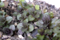 [植物]2010-03-17 ミント