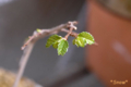 [植物][盆栽]2010-03-17 ケヤキ