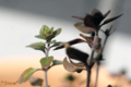 [植物]2010-03-17 レモンタイム