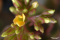 [植物]2010-03-18 カランコエが咲いた