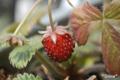[植物]2010-03-18 苺が生った