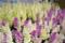 葉牡丹 2010-03-19