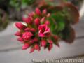 [植物]カランコエ 2010-03-29 08:20:12