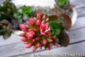 [植物]カランコエ 2010-03-29 08:19:49