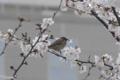 [東京][桜]2010-04-03 16:29:12 スズメ