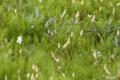 [東京][桜]2010-04-03 16:31:23 外堀土手に顔を出したツクシ