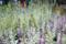 2010-04-03 17:30:05 葉牡丹