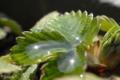[植物]ワイルドストロベリー 2010-03-17 11:31:42