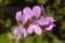 スノーフレーク・ゼラニウム 2010-05-09 15:10:00