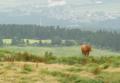 [熊本][阿蘇]阿蘇の赤牛 2010-07-31 11:29:27