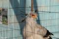 [上野動物園]ヘビクイワシ 2011-03-13 15:25:21