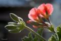 [園芸][花]エンジェルアイズ・オレンジ 2011-03-20 15:21:25