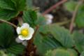 [園芸][花]ワイルドストロベリー 2011-03-20 15:20:11