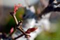 [園芸][盆栽]モミジの盆栽 2011-03-20 15:16:37