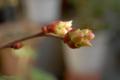 [園芸]ブルーベリー 2011-03-20 15:22:42