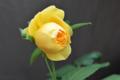 [園芸][花]グラハムトーマス 2011-05-11 11:26:12